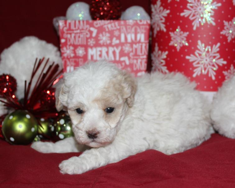Brunker Toy Poodles Oklahoma
